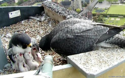 Peregrines On Our Doorstep