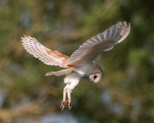 Image Copyright Andy Thompson - Barn Owl David Cobham A Sparrowhawks Lament
