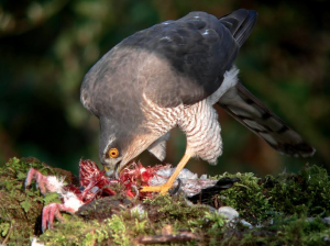 Sparrowhawk by David Culley | David Cobham