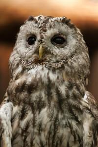 Tawny Owl David Cobham Sparrowhawks lament