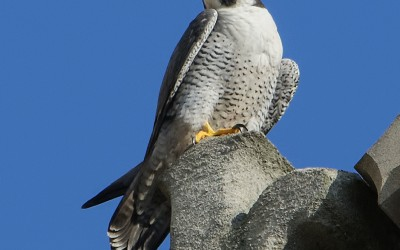 The Norwich Cathedral Peregrine Falcons