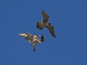 peregrine. norwich food pass 310514 b (15)